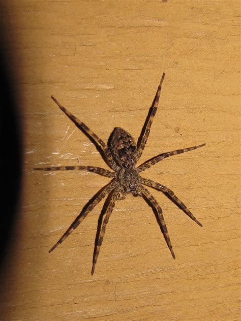 are wolf spiders dangerous wolf spiders are venomous but they are not poisonous spider pinterest wolf spider