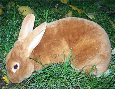 les races le monde des lapins tout sur les lapins