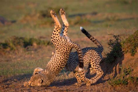 la chute du petit guepard