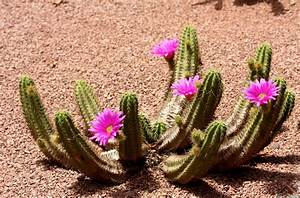 » Pictures of Most Beautiful Cactus Flowers | Bhumi Devi ...