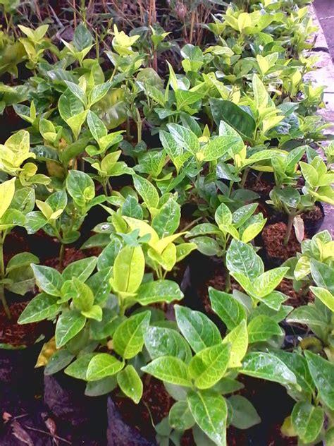 tanaman melati jepang jual melati jepang tukang taman