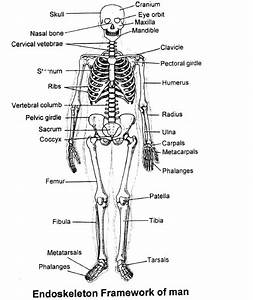 Skeletal System  Chapter Notes  Class 11  Biology Class 11