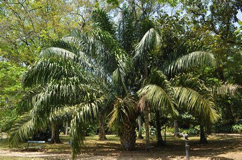 de brazil palm gardens de janeiro botanical gardens brazil