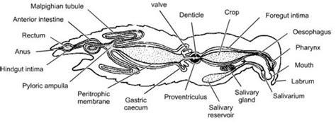los insectos morfologia interna nutricion respiracion