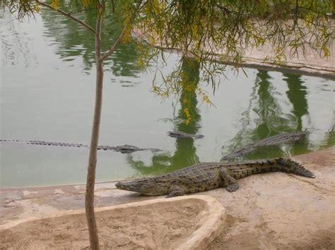 ganz schoener brocken bild von krokodilfarm animalia