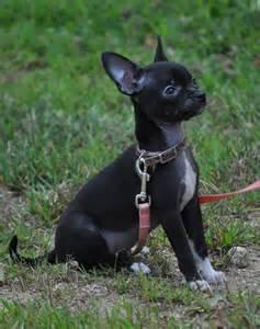 Black and White Apple Head Chihuahua