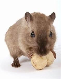 Mäuse Bekämpfen Haus : m use bek mpfen vertreiben hausmittel gegen m use im ~ Michelbontemps.com Haus und Dekorationen