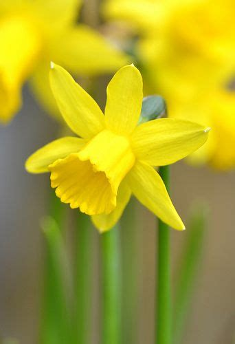 Happy Easter !  Spring Forward  Daffodils, Yellow Flowers, Flowers