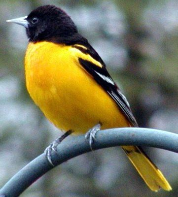 maryland bird baltimore oriole pictures state birds