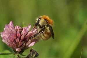 Brown-banded Carder Bee