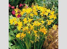 Crocosmia Plant George Davidson Dobies