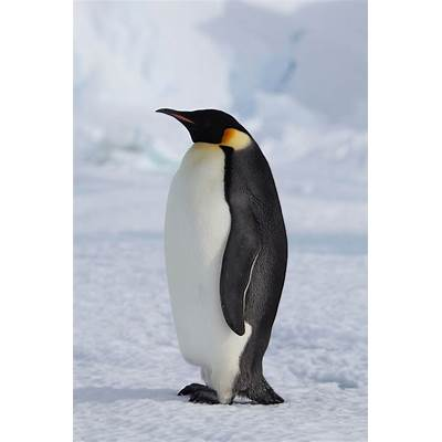 Melting sea ice harmful to Emperor penguinsEarthEarthSky