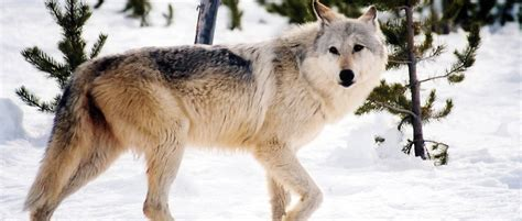 british columbia  expand aerial wolf removals