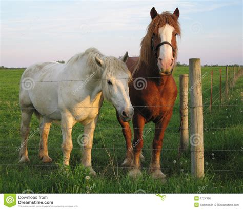 friendly horses royalty workhorses amish ohio field preview dreamstime