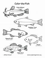 Trout Coloring Rainbow Fish Pages Bass Freshwater Largemouth Brook Getcolorings Printable State Rav sketch template