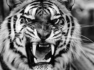 Black And White Tiger Roar Pictures to Pin on Pinterest ...