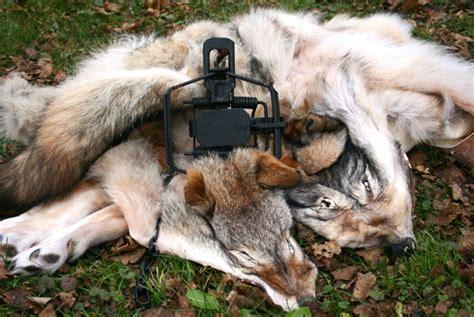 trapping coyote  fur  ontario ontario   doors