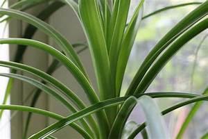 Hortensien Blätter Werden Braun : elefantenfu bekommt braune bl tter verliert bl tter das ~ Lizthompson.info Haus und Dekorationen