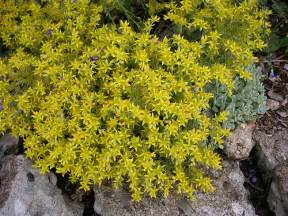 Flowering Ground Cover