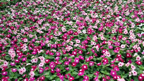 types of annual plants caring for annual vinca youtube