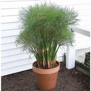 paper plant dwarf giant papyrus cyperus papyrus hybrid With pot de fleur d interieur