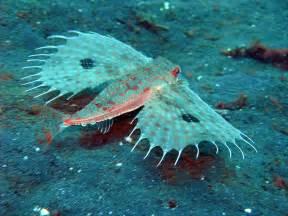 Oriental Flying Gurnard - Dactyloptena - Tropical Fish ...
