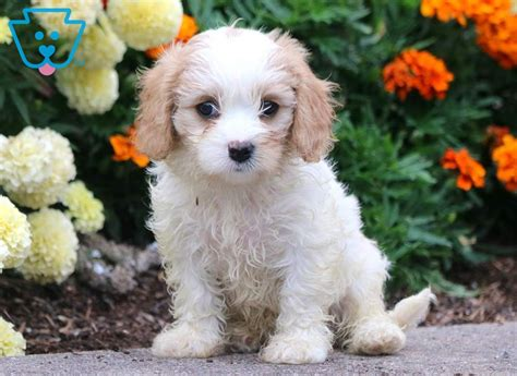 abby cavachon puppy  sale keystone puppies