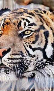Sumatran Tiger -- look closer by Mike Oberg | Sumatran ...