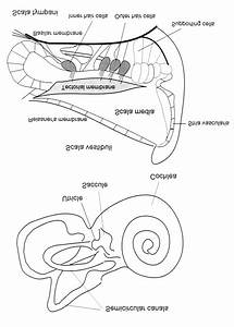 Schematic Drawing Of The Anatomy Of The Inner Ear And Of A