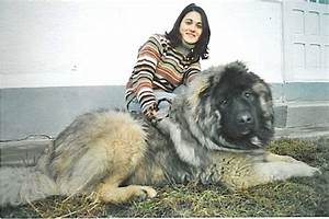 Best 25+ Caucasian shepherd puppy ideas on Pinterest ...
