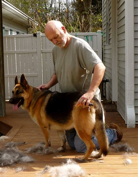 german shed news from the hill do german shepherds shed
