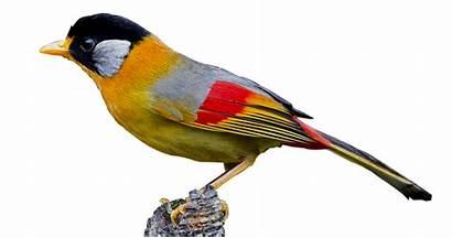 Burung Warna Suara Panca Mp3 Pancawarna Komposisi