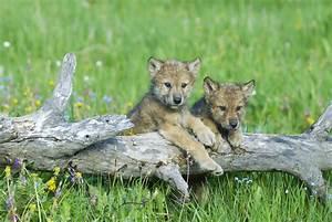 Montana and Idaho Prep For Fall Wolf Hunts