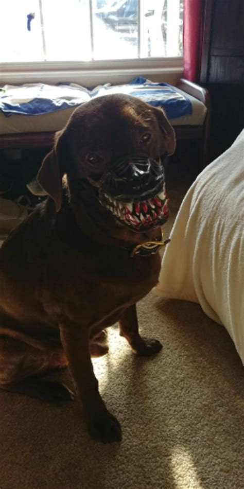 people share pics   dogs   scary dog muzzle