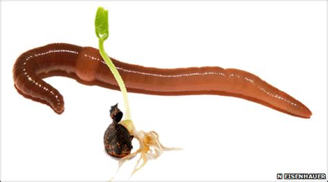 bbc earth news earthworms eat live seeds and plants