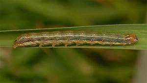 Fall Armyworm Continuity Plan Released To Assist Farmers