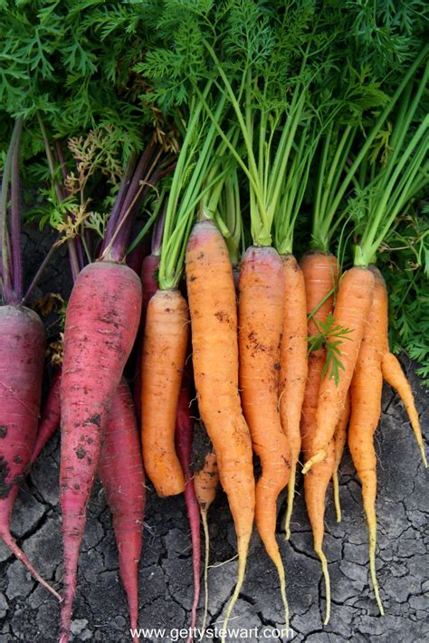 how to carrots from the garden how to harvest and garden carrots getty stewart