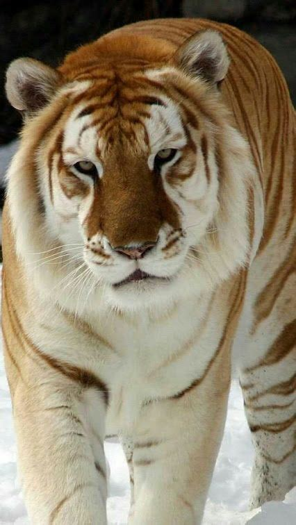 Golden Tigers Only Few Still Exist They Are Close