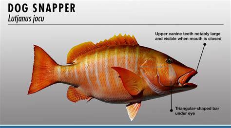snapper fish identifier fishtrackcom