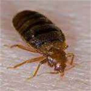 insect names in punjabi whatiscalledcom With bed bug scientific name