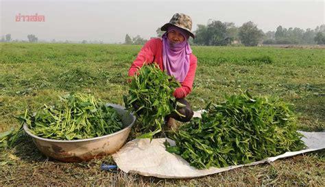 ชาวนายิ้มได้ แบ่งที่นา 3 ไร่ ปลูกผักบุ้งไทยช่วงหน้าแล้ง ทำ ...
