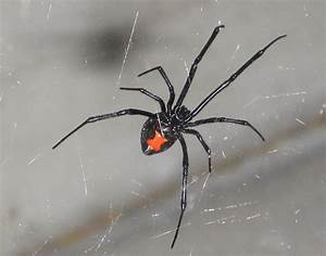 Black Window Spider