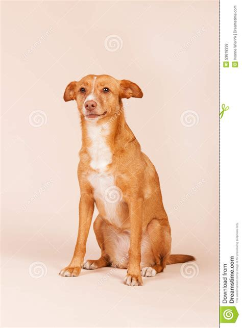 hound andalusian podenco spanish preview