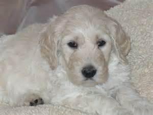 in home dog breeder of multi generation golden doodles and