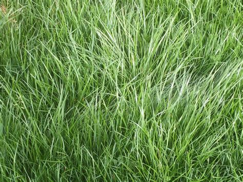 'perennial Ryegrass Accounts For 95% Of All Seed Sales