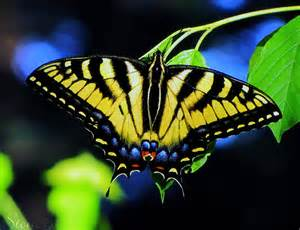 Black and Yellow Tiger Swallowtail Butterfly