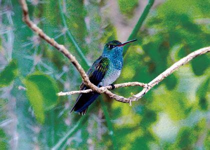 colibri esmeralda semanario fides