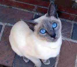 siam cat shukernature tales of a legends of the siamese cat