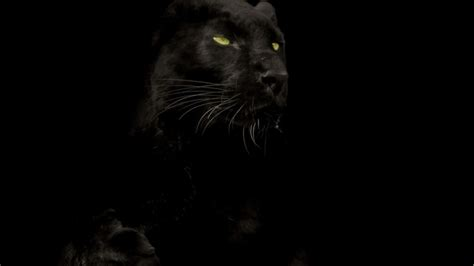 Panther Animal Wallpaper - black panther marvel hd wallpaper 73 images