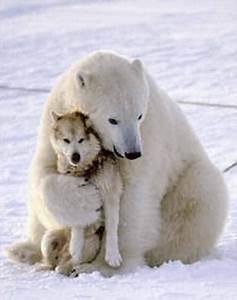 The Wild Hug : polar bear hugs husky dog shirster flickr ~ Eleganceandgraceweddings.com Haus und Dekorationen